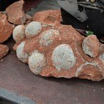 Fossilized Dinosaur Eggs Found in Southern China