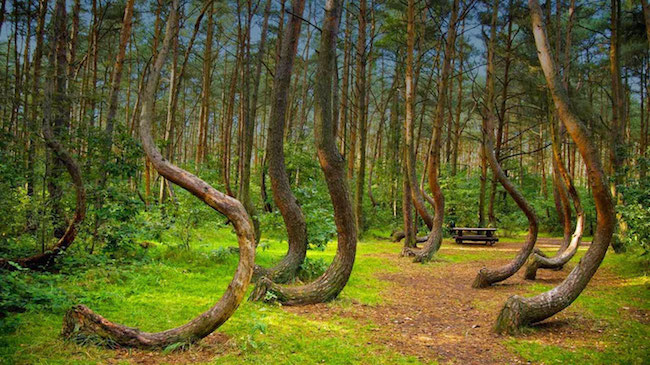Twisted Trees in the Hoia-Baciu forest