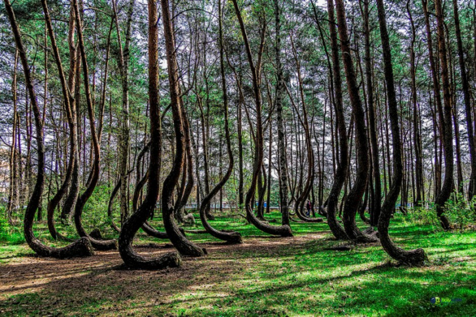 Crooked Forest in Western Poland